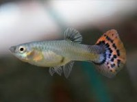 guppy female